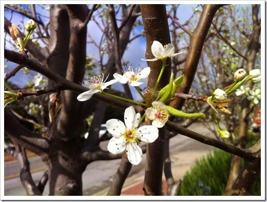 Springtime Blossoms 2_25_15