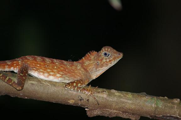 Gonocephalus bornensis SCHLEGEL, 1848. Pangui. Sukau (Sabah), 7 août 2011. Photo : J.-M. Gayman