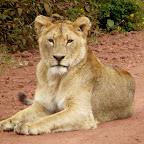 Junger Löwe auf der Zufahrt zum Ngorongorokrater © Foto: Ulrike Pârvu | Outback Africa Erlebnisreisen