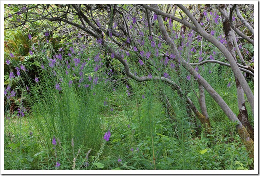 110712_purple trees_brookings