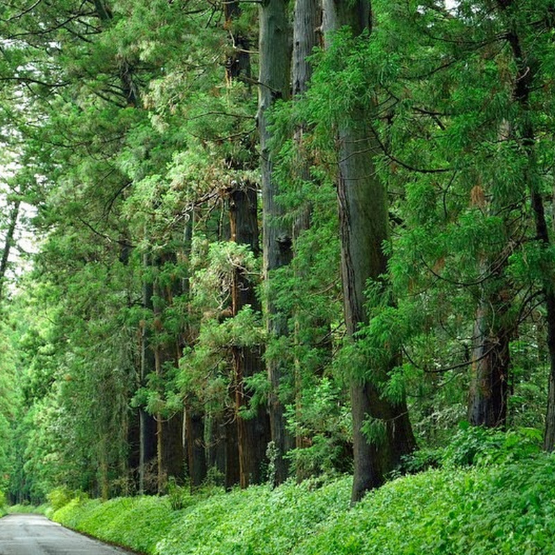 Cedar Avenue of Nikko, The World's Longest Tree-Lined Avenue