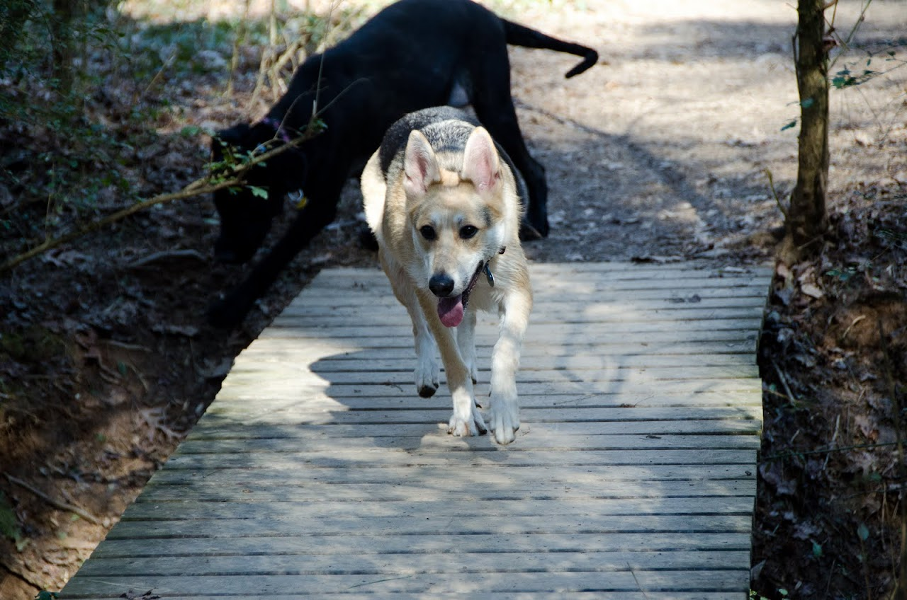 Dogs running