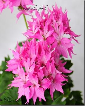 Pelargonium juni-11 066