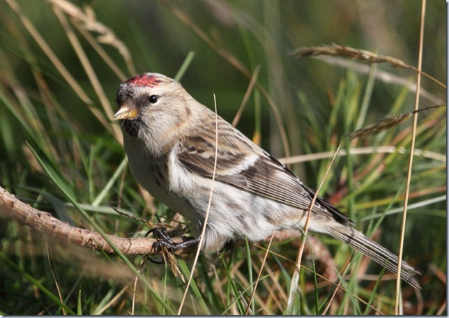 arctic_redpoll5