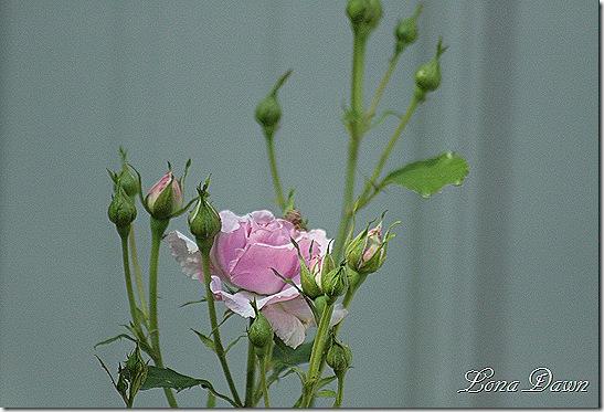Rose_Lavender_Simplicity