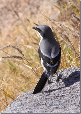 southern_grey_shrike2