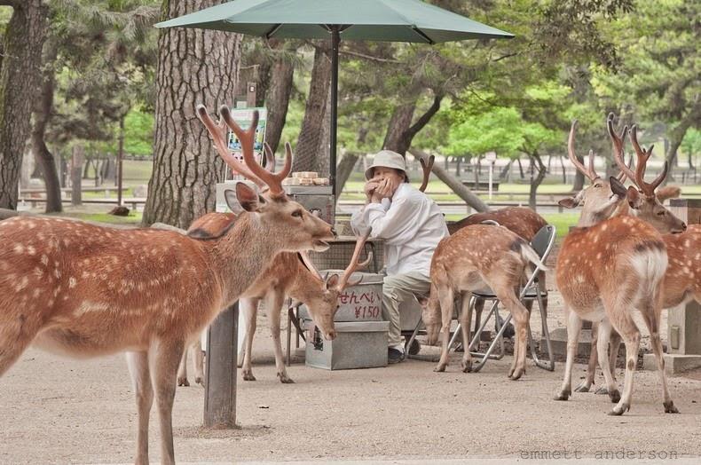 nara-deer-5