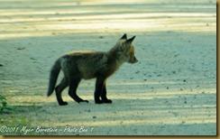 Red Fox pup_D075158 Bombay Hook  May 09, 2011 NIKON D7000