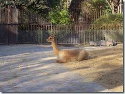 2011.11.14-002 vigogne