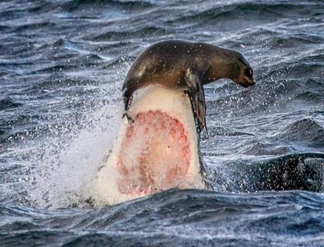 Para se livrar dos dentes do tubarão vale tudo para essa foca