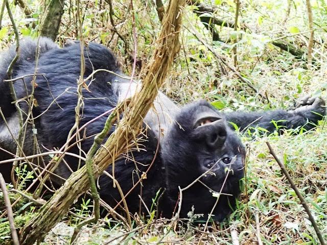 Gorilla Tracking 076.JPG