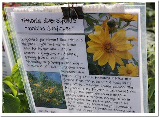 110211_AnniesAnnuals_Tithonia-diversifolius_01