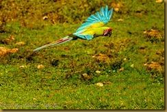 Scarlet Macaw- Ana macao