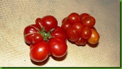 Tomate Brain