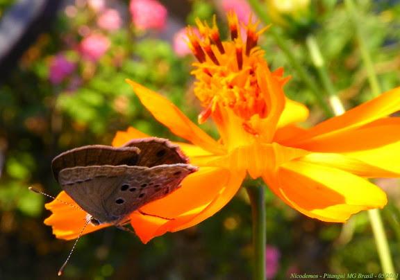 Lycaenidae : Strymon istapa istapa (REAKIRT, [1867]). Pitangui (MG, Brésil), 27 mai 2011. Photo : Nicodemos Rosa