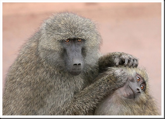 1024px-Grooming_monkeys_PLW_edit