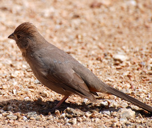4. Canyon towhee-kab