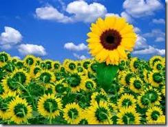solsikke blomster