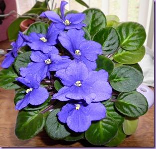 blue boy A violet