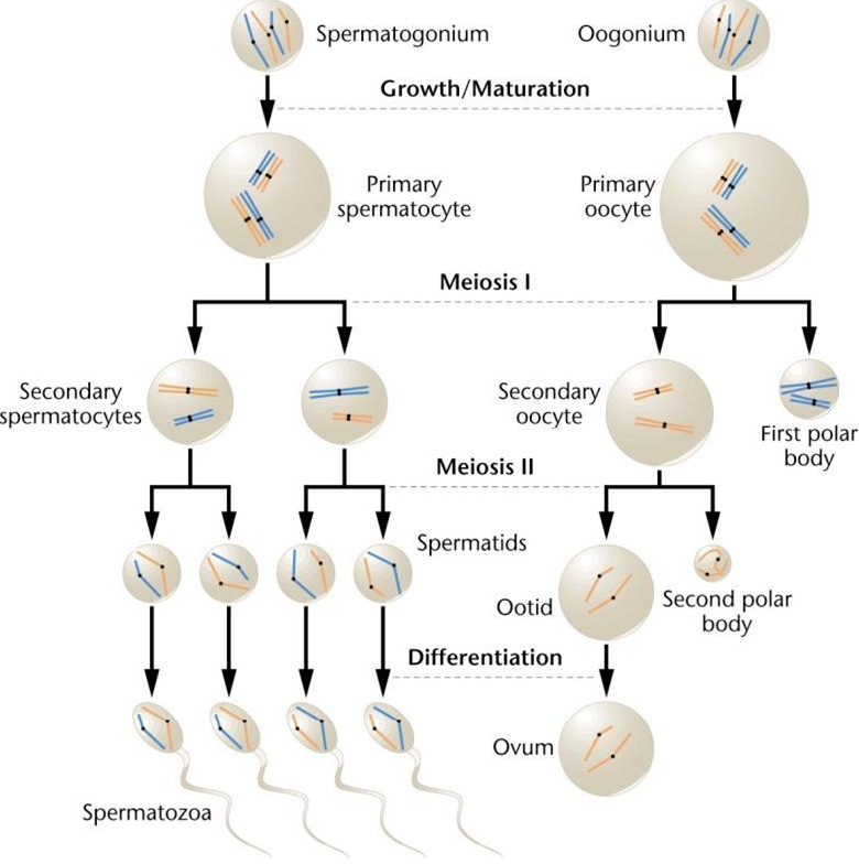 Spermatogenesis and Oogenesis