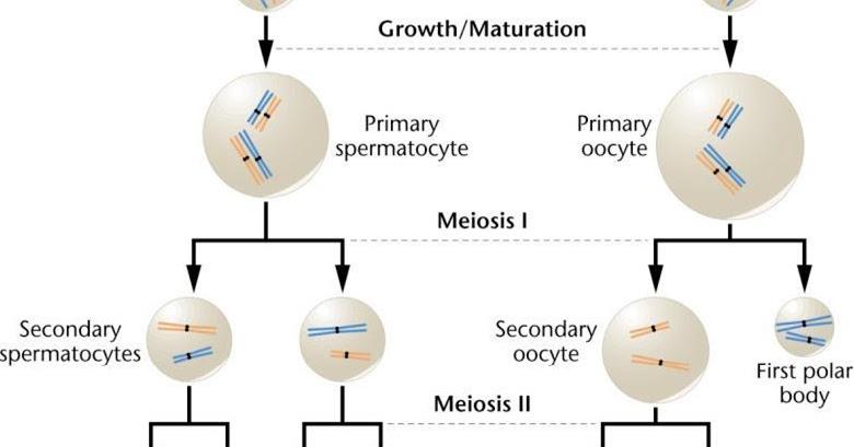 Spermatogenesis vs. Oogenesis