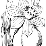AbbÈ H. Coste - Flore de la France (1937). Source: http://www.tela-botanica.org/ - This image is in public domain because its copyright has expired.