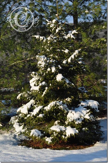 snow-pine