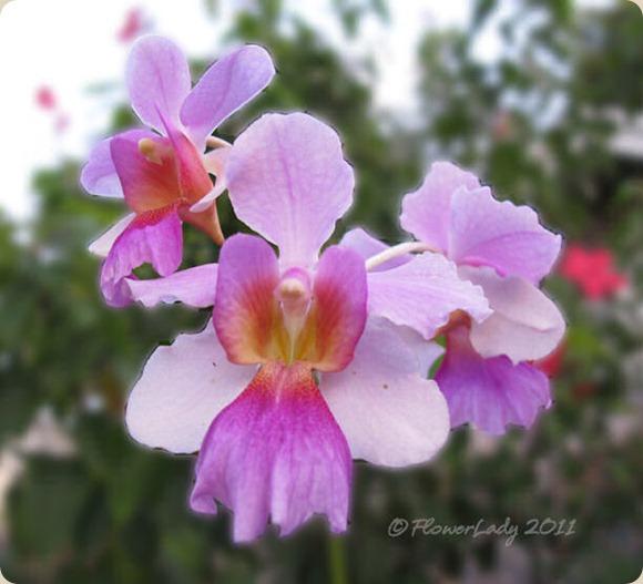 08-24-vanda-orchidst