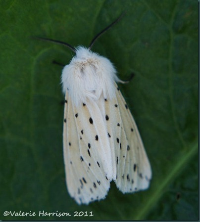 white-ermine