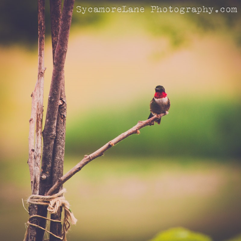 SycamoreLane Photography-hummingbird