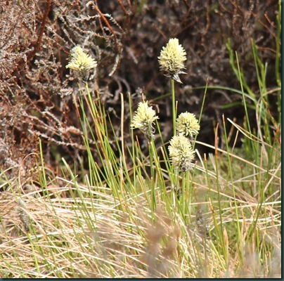 9 Hare's-tail Cottongrass