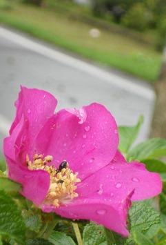 2011.8.19-1 ハマナス