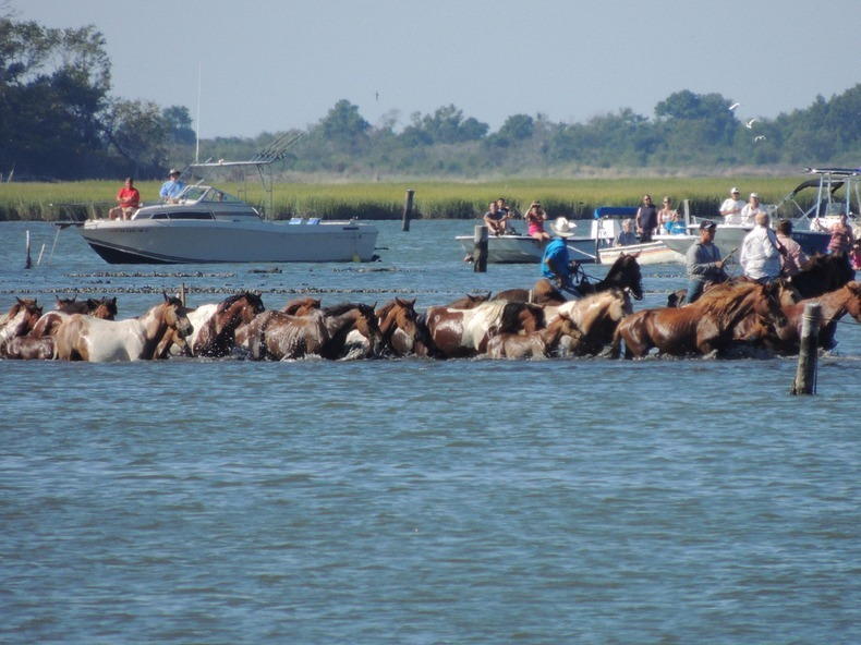 chincoteague-pony-swim-9