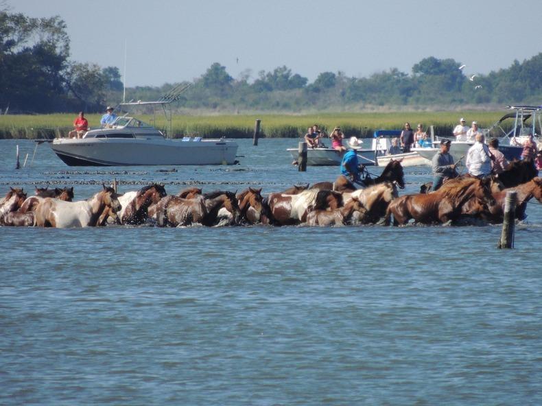 chincoteague-pony-swim-9