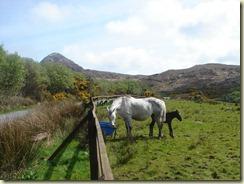 03.Pony de Connemara