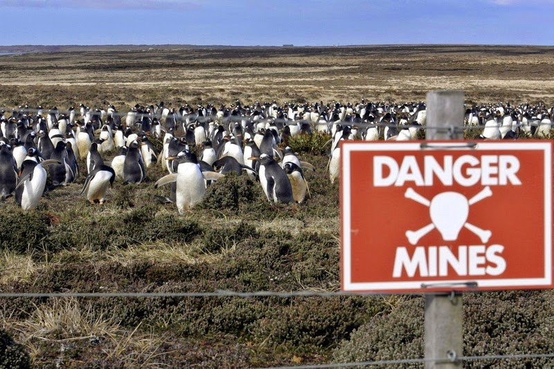 falkland-penguins-minefield-2