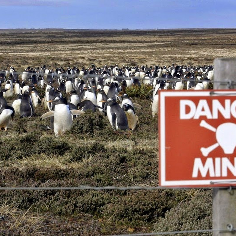 The Penguin Population That Thrives on Falklands' Minefields