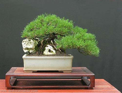 bonsais arvores em miniatura desbaratinando (26)