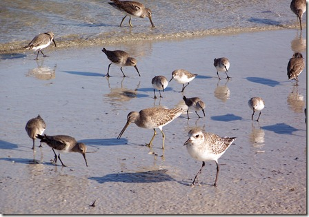 Short billed dowitcher, solitary sandpiper, dunlin, sanderling