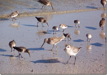 Short billed dowitcher, solitary sandpiper, dunlin, sanderling