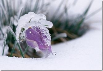 Alberta prairie crocus  in ice