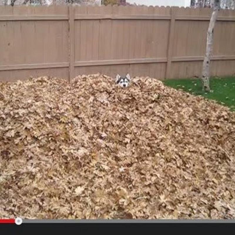 Husky παιζει στα ξερα φύλλα