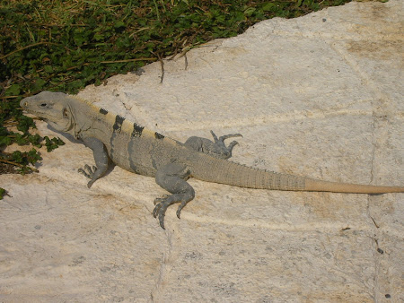 Isla of Muheres: Mexican iguana