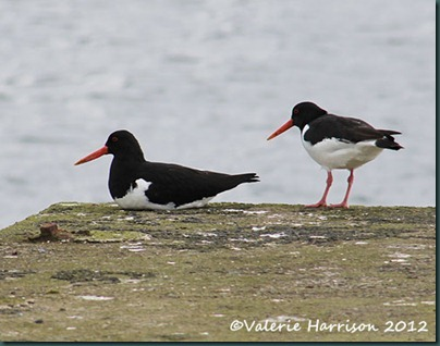 9-Oystercatchers