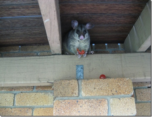 Possum eating