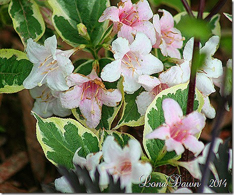Weigela Variegated