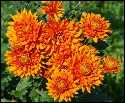 Chrysanthemums2a