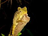 Chameleon halfway up the Tanggamus trail (Chris Whiting, November 2010)