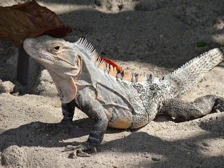 23. Iguana la soare.JPG
