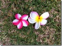 ハワイ島のプルメリア